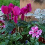 Hot pink cyclamen brighten garden pots in winter